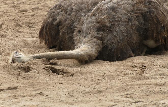 Tại sao đà điểu vùi đầu trong cát mỗi khi gặp nguy hiểm? Dadieu10