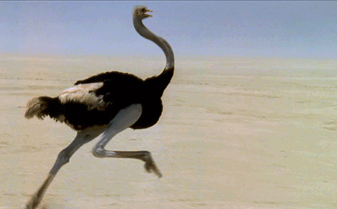 Tại sao đà điểu vùi đầu trong cát mỗi khi gặp nguy hiểm? Dadieu14
