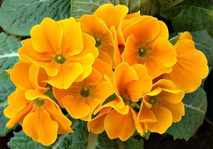 Truyền thuyết hoa anh thảo Hoa-an14