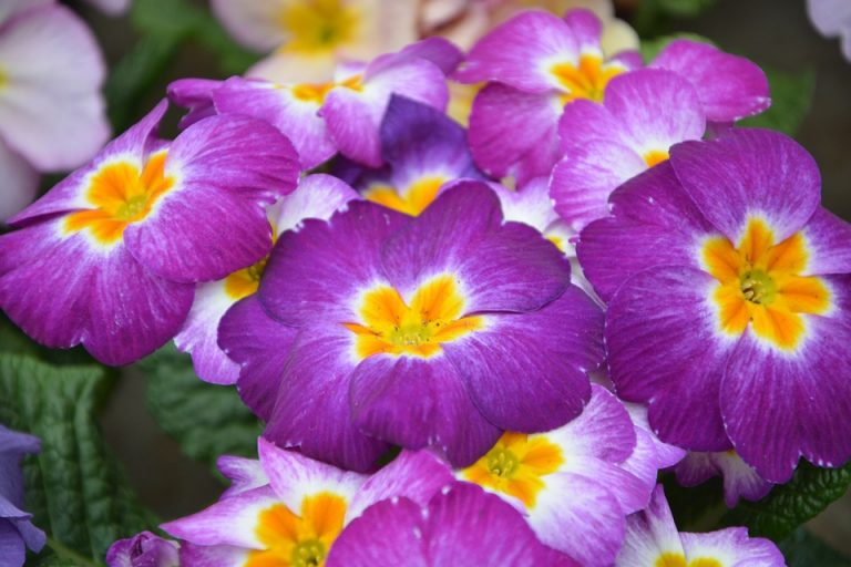 Truyền thuyết hoa anh thảo Hoa-an18