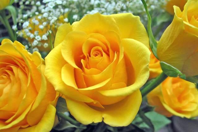 Sự tích hoa hồng vàng Hoa-ho11