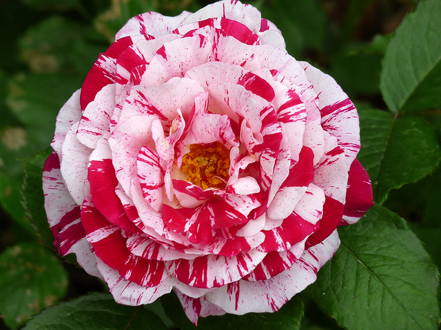 Sự tích hoa hồng viền trắng Hoa-ho13