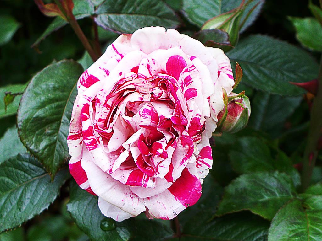 Sự tích hoa hồng viền trắng Hoa-ho15