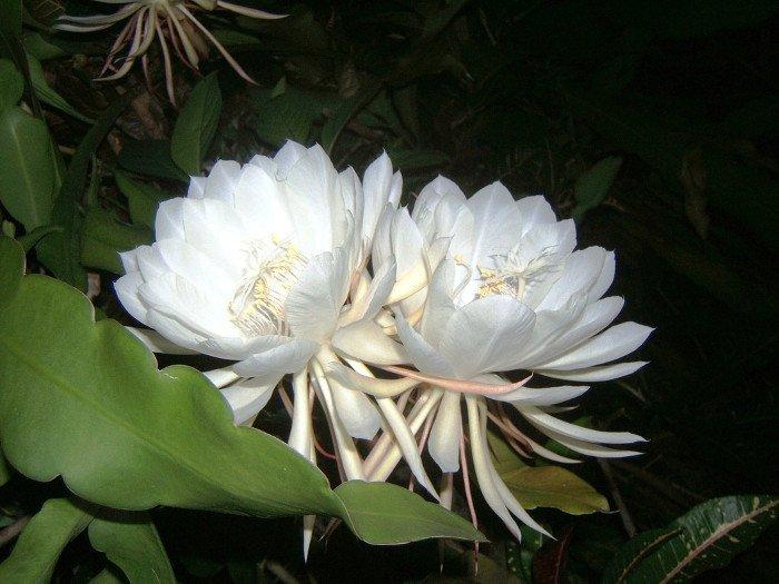 10 loài hoa hiếm và đẹp nhất thế giới Hoa-ka10