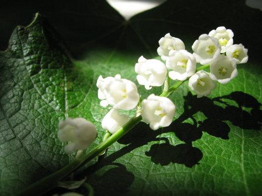 Sự tích hoa linh lan Hoa-la11