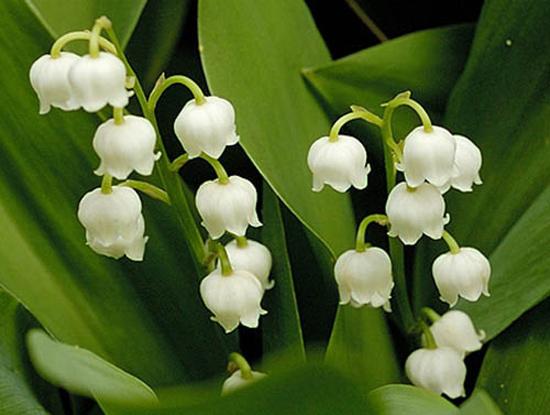 Sự tích hoa linh lan Hoa-la12