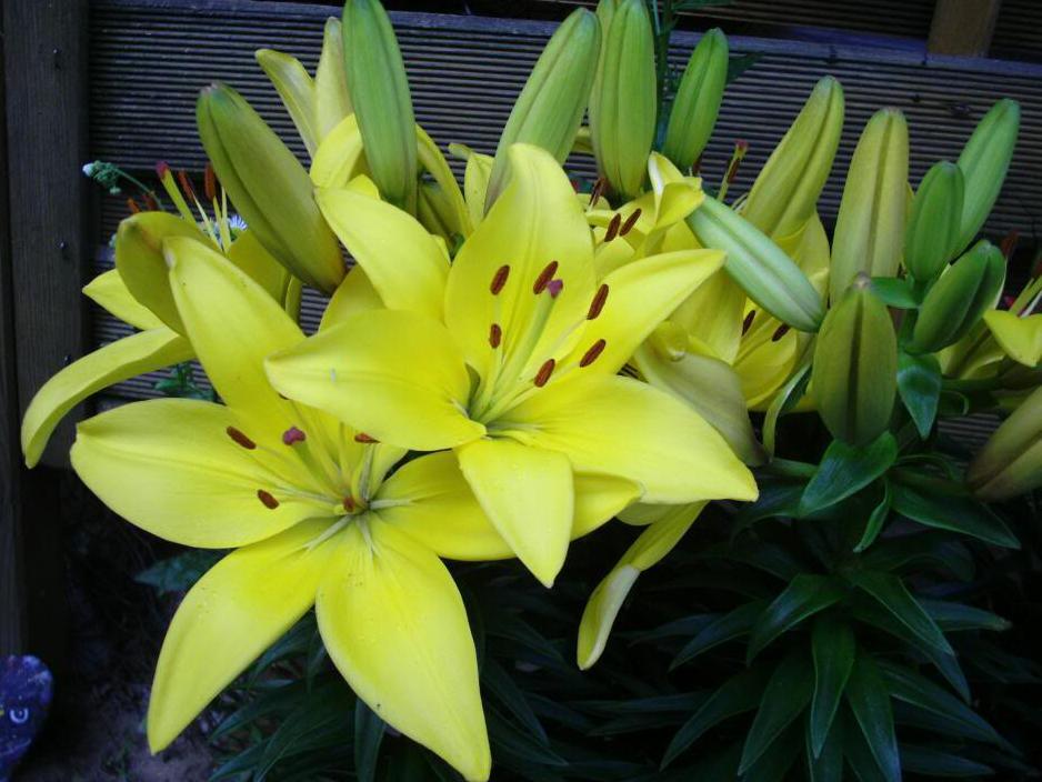 Sự tích hoa Lily Hoa-ly11