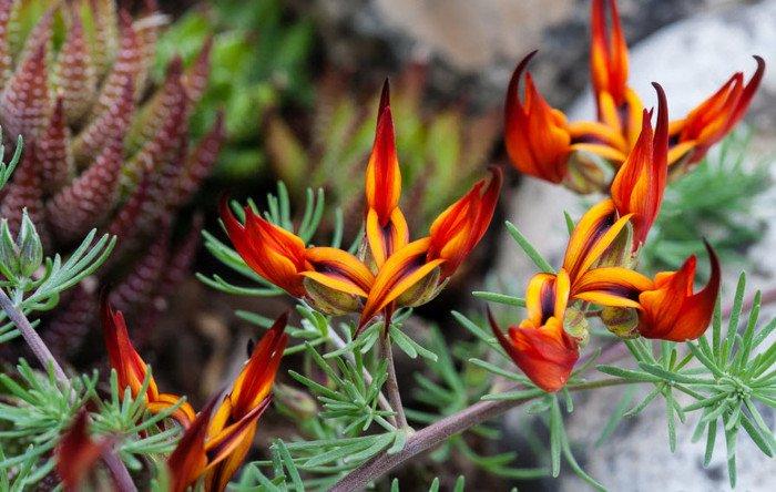 10 loài hoa hiếm và đẹp nhất thế giới Hoa-mo10