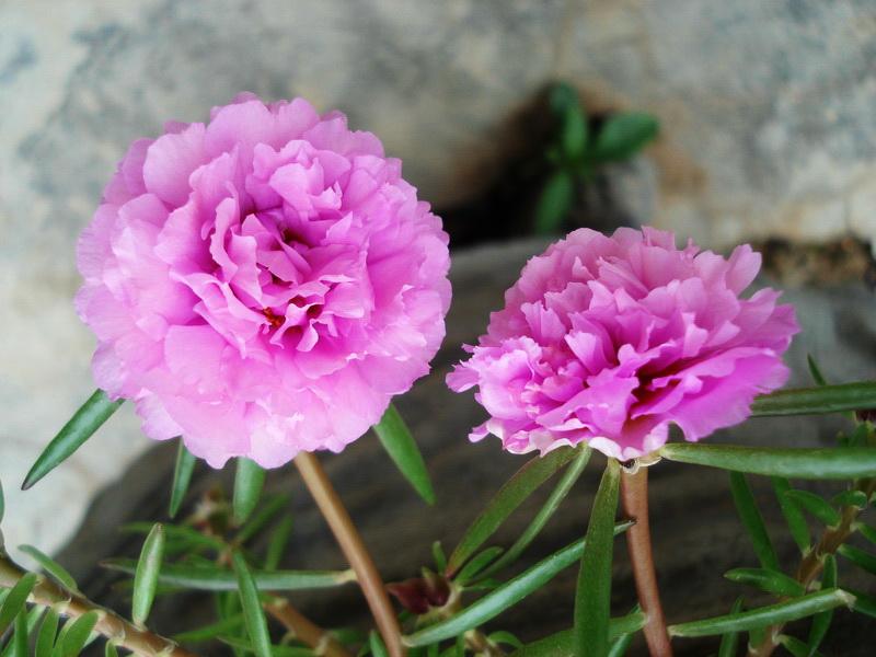 Sự tích hoa mười giờ Hoa-mu13