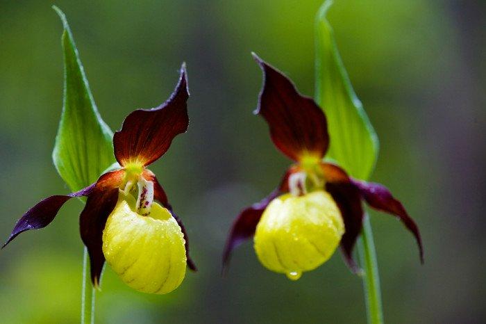 10 loài hoa hiếm và đẹp nhất thế giới Hoa-ph10