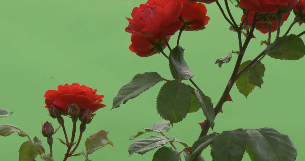 Sự tích hoa hồng đỏ Hoa_ho11