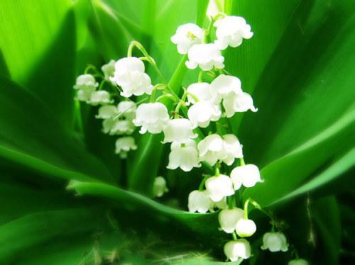Sự tích hoa linh lan Hoa_li12