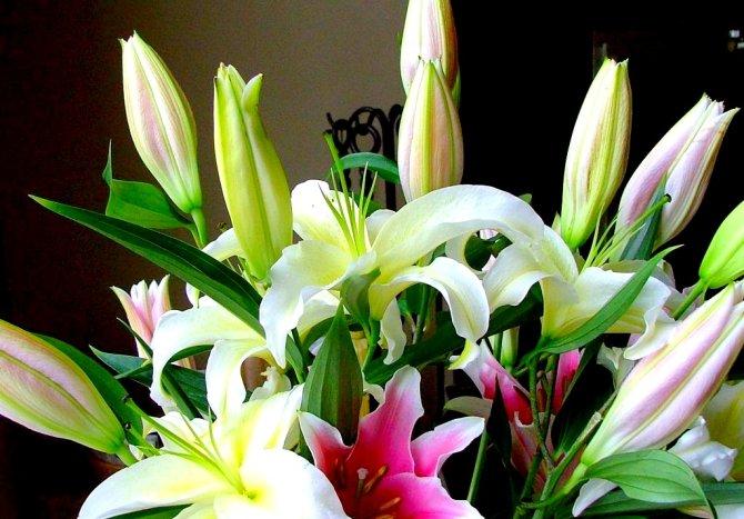 Sự tích hoa Lily Hoa_li13