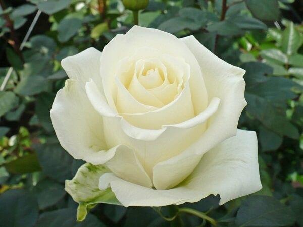 Sự tích hoa hồng trắng Hoahon11