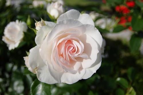 Sự tích hoa hồng bạch Hoahon13