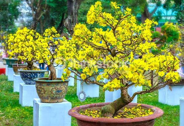 10 loài hoa được mệnh danh là đẹp nhất thế giới - Page 2 Hoamai10