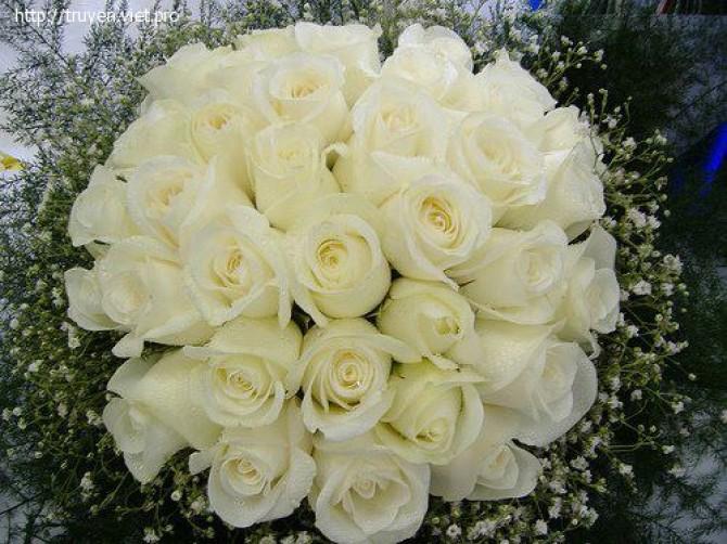 Sự tích hoa hồng trắng Hong-t10
