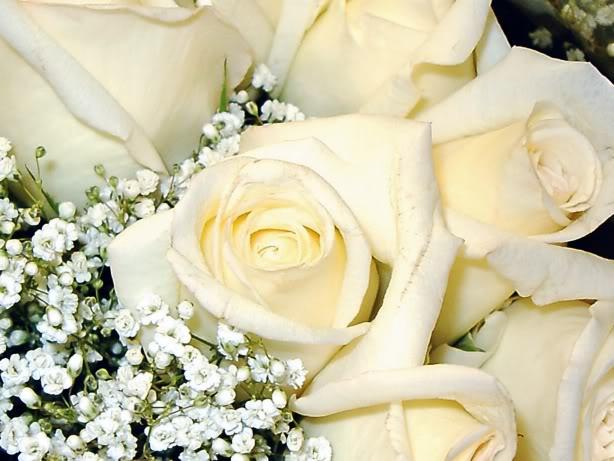 Sự tích hoa hồng trắng Hong-t11