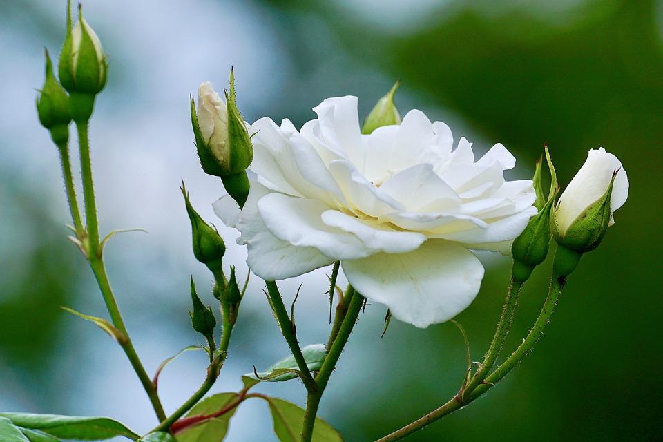 Sự tích hoa hồng trắng Hong-t13