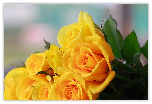 Sự tích hoa hồng vàng Hong_v10