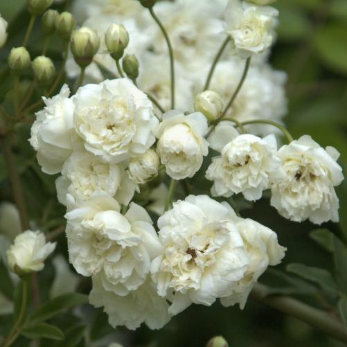 Sự tích hoa hồng trắng Hongtr10