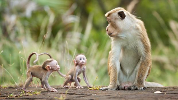 Tại sao khỉ thích ăn chuối? Khi0210