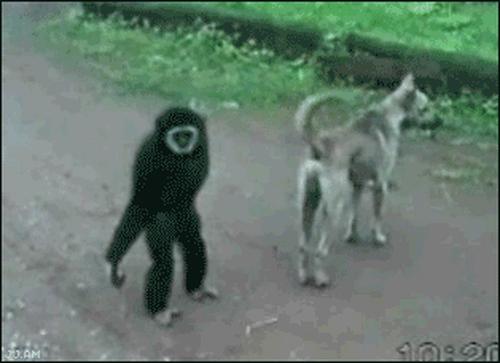 Tại sao khỉ thích ăn chuối? Khi0310