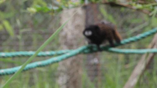 Tại sao khỉ thích ăn chuối? Khi0410