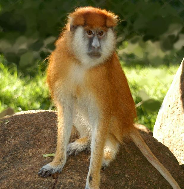 Tại sao khỉ thích ăn chuối? Khi0710