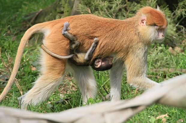 Tại sao khỉ thích ăn chuối? Khi0810