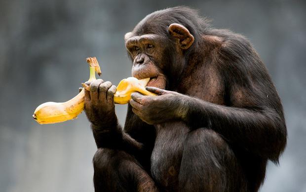 Tại sao khỉ thích ăn chuối? Khi1210