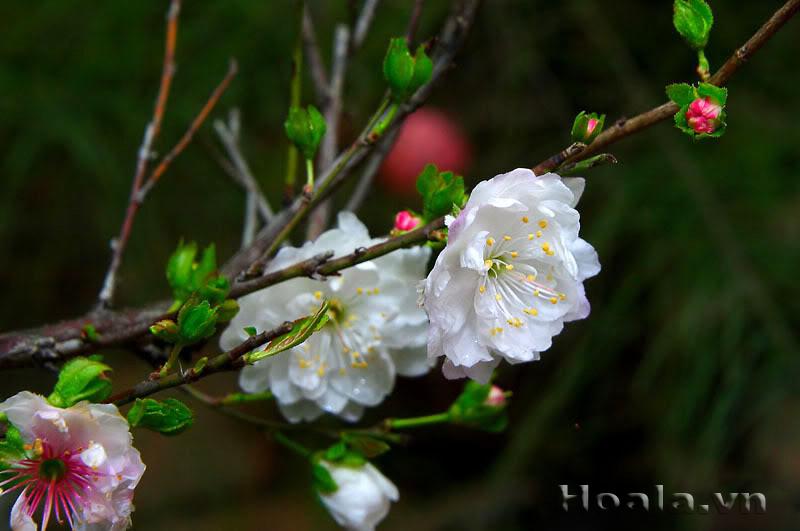 10 loài hoa được mệnh danh là đẹp nhất thế giới - Page 2 Nhat_c10