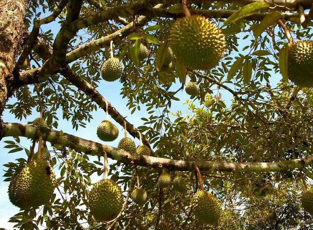 Đố bạn biết trái sầu riêng rụng vào lúc nào? Sau-ri10