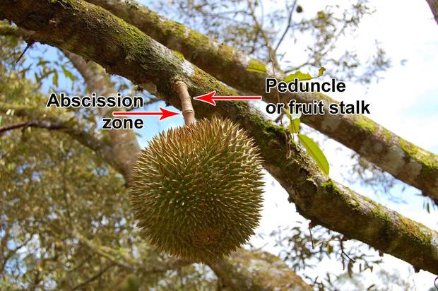 Đố bạn biết trái sầu riêng rụng vào lúc nào? Sau-ri11