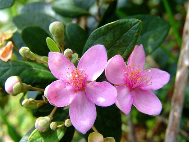 Sự tích hoa Sim và hoa Mua Su-tic13