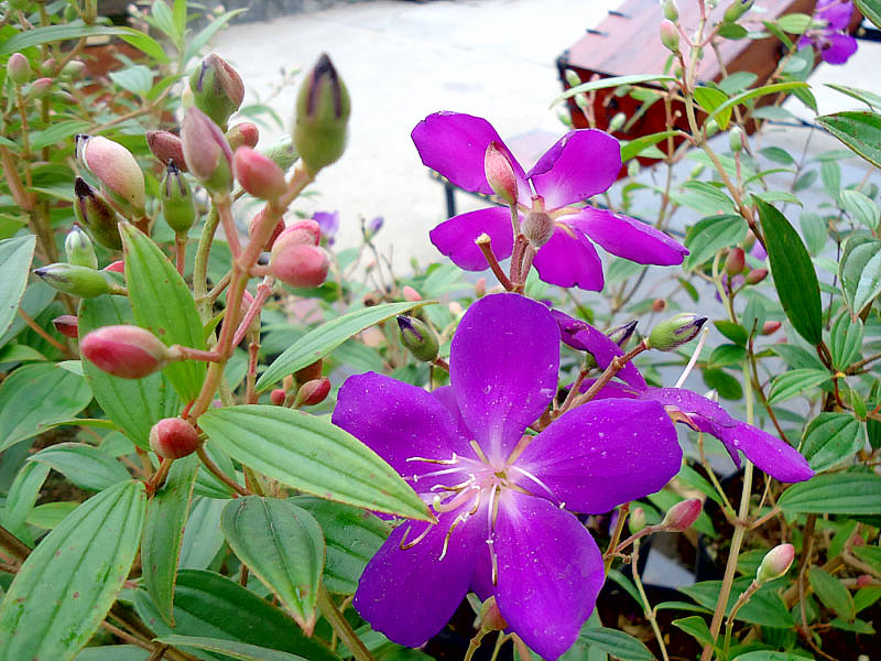 Sự tích hoa Sim và hoa Mua Su-tic14