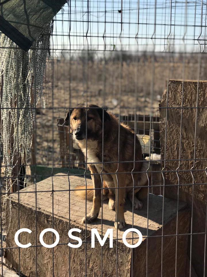 COSMO - M-X grande taille - né ??? -  (PIATRA PENSION) -   62521610