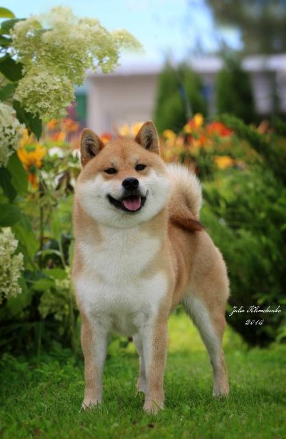 Рыжие щенки от пары AKAI HANA NOBUYUKI и LEGENDA ARDEN OHARA SHINDZHU рожд.20.09.20г 89381312