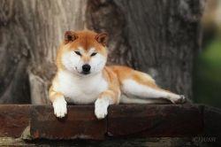 Рыжие щенки от пары AKAI HANA NOBUYUKI и LEGENDA ARDEN OHARA SHINDZHU рожд.20.09.20г E212