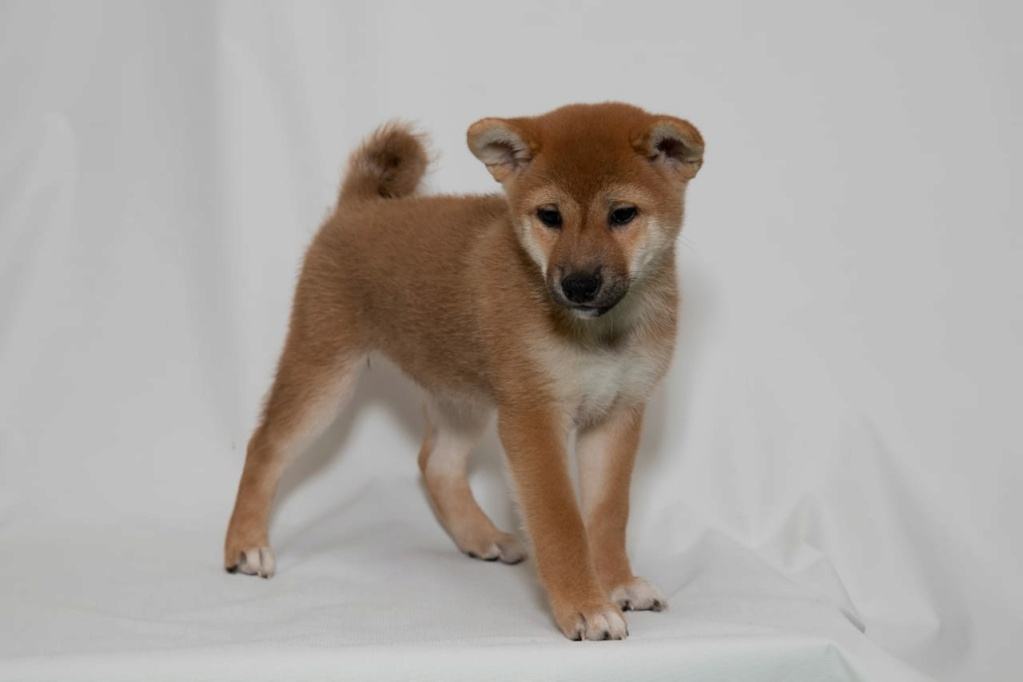 Рыжие щенки от пары AKAI HANA NOBUYUKI и LEGENDA ARDEN OHARA SHINDZHU рожд.20.09.20г Img-2090