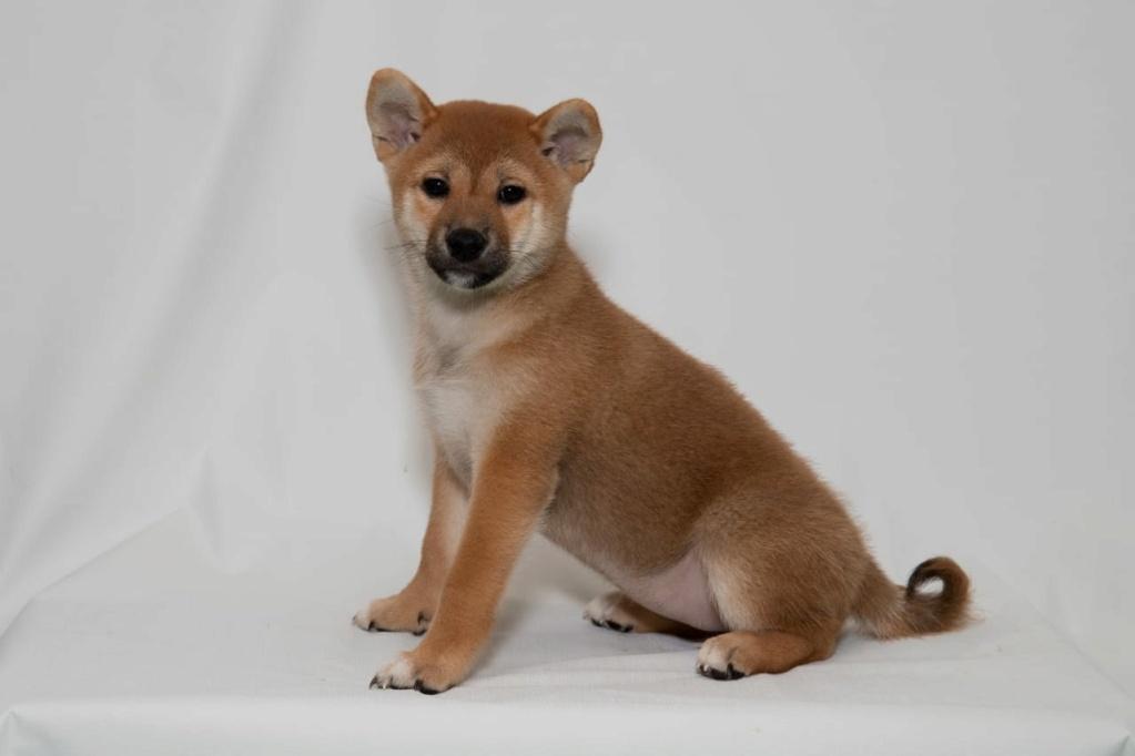 Рыжие щенки от пары AKAI HANA NOBUYUKI и LEGENDA ARDEN OHARA SHINDZHU рожд.20.09.20г Img-2091