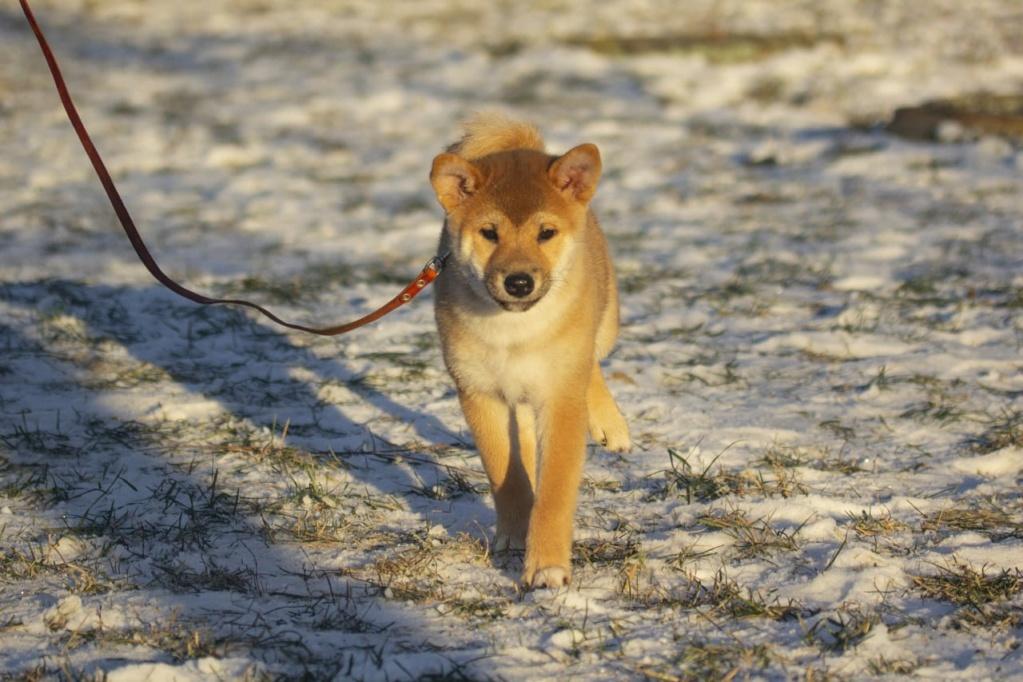 Рыжие щенки от пары AKAI HANA NOBUYUKI и LEGENDA ARDEN OHARA SHINDZHU рожд.20.09.20г Img-2099