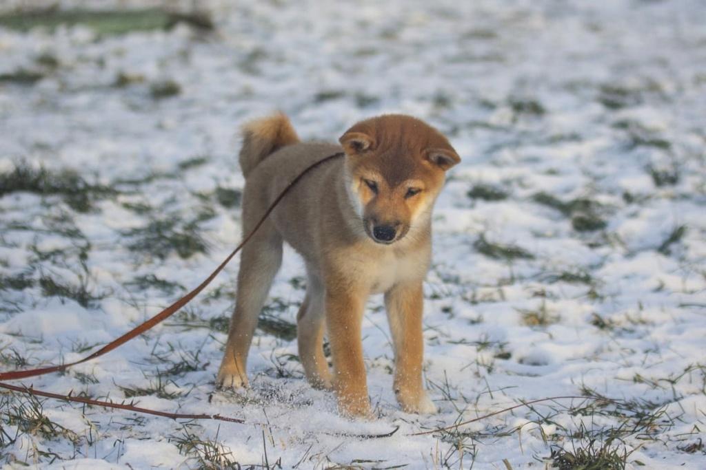 Рыжие щенки от пары AKAI HANA NOBUYUKI и LEGENDA ARDEN OHARA SHINDZHU рожд.20.09.20г Img-2100