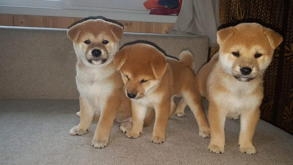 Три рыжих мальчика от пары AKAI HANA NOBUYUKI и LEGENDA ARDEN IZUMI рожд.12.04.21. г.Москва Img_2230
