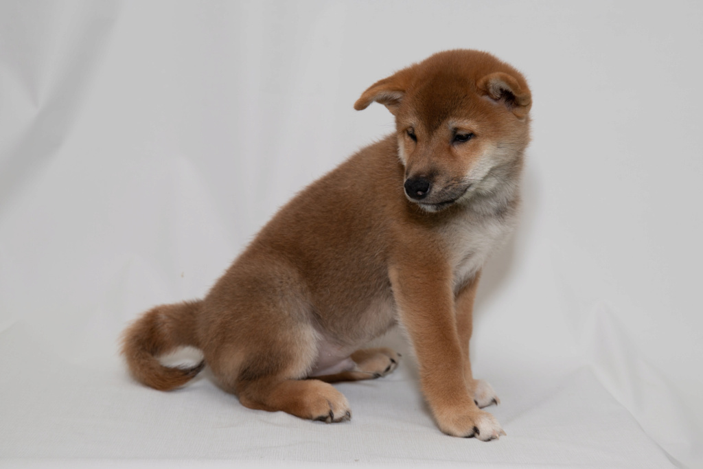 Рыжие щенки от пары AKAI HANA NOBUYUKI и LEGENDA ARDEN OHARA SHINDZHU рожд.20.09.20г Img_5010