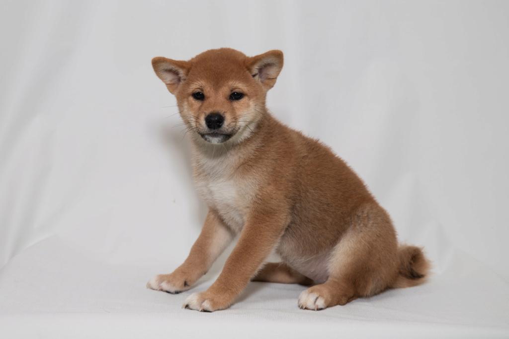 Рыжие щенки от пары AKAI HANA NOBUYUKI и LEGENDA ARDEN OHARA SHINDZHU рожд.20.09.20г Img_5011