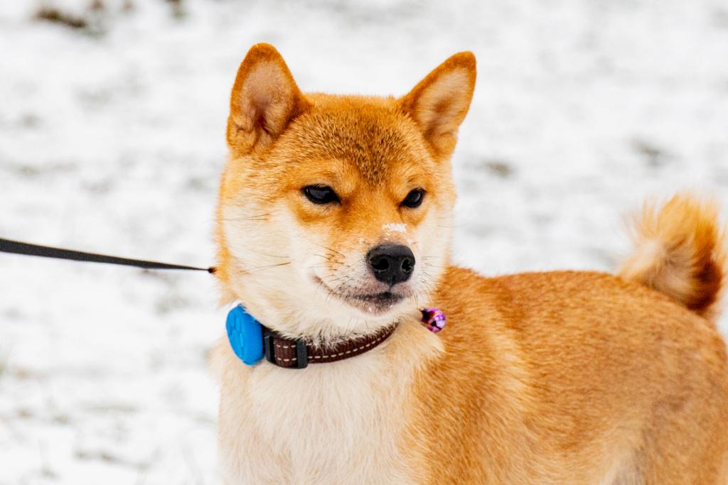 Рыжие щенки от пары AKAI HANA NOBUYUKI и LEGENDA ARDEN OHARA SHINDZHU рожд.20.09.20г Img_5710