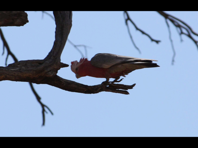 The Galah & Goanna Db3d4b10