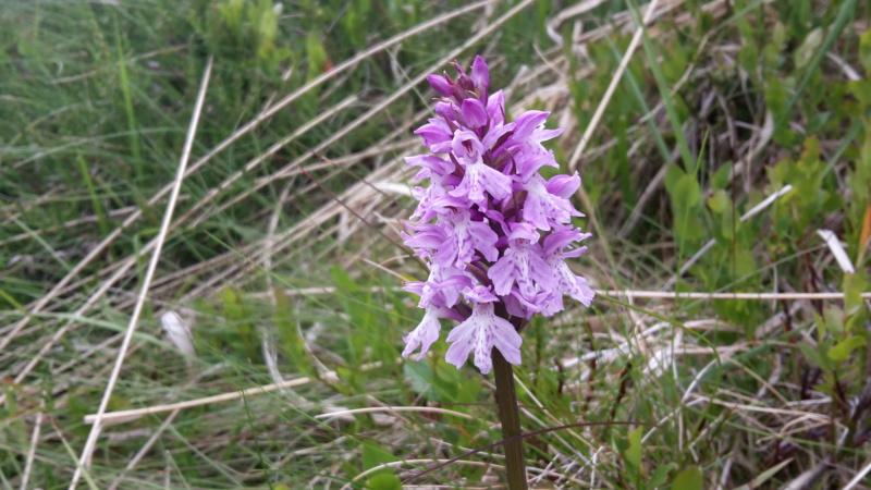 D. maculata ou fuchsii des Vosges ?  20170610