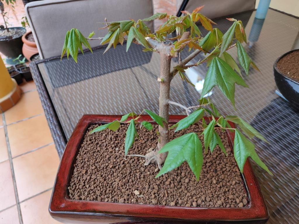 Ayudame a diseñar mi bonsai de arce palmatum Img20214
